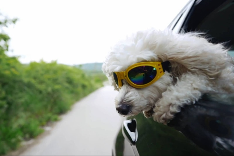 A dog wearing goggles hanging its head out the window of a car | Video - Stay Cool During the Summer | Middleton, ID